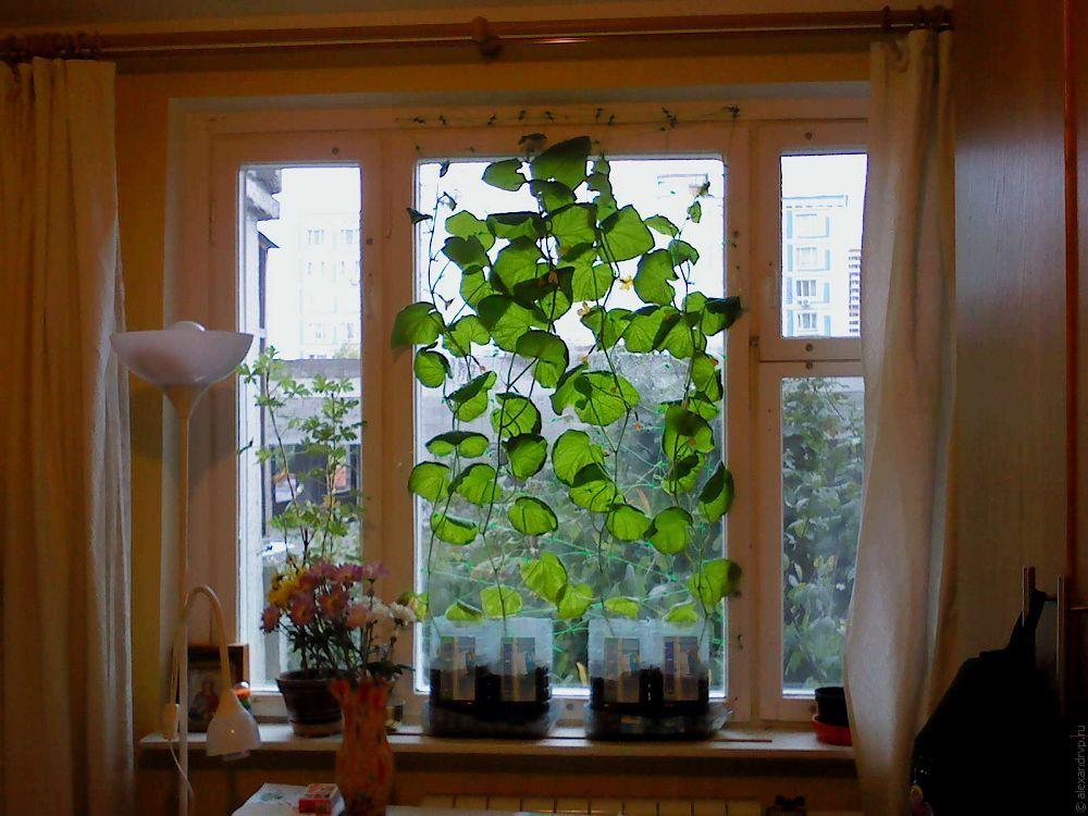 Огурцы на окне : 3 нюанса успешного выращивания m